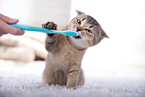 Grooming Service for British Shorthairs Cat Breed